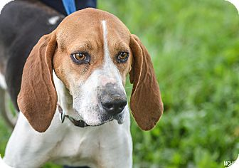 Treeing Walker Coonhound Mix Dog for adoption in Martinsville, Indiana - Matilda