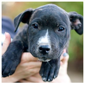 Mastiff/Pit Bull Terrier Mix Puppy for adoption in Woodland, California - Josie Jo Jo Joplin