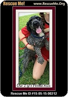 Poodle (Miniature) Mix Dog for adoption in Saddle Brook, New Jersey - OSO