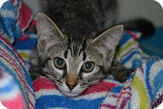 Domestic Shorthair Cat for adoption in Edwardsville, Illinois - Anita