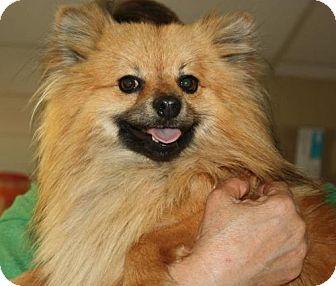 Pomeranian Dog for adoption in Cottageville, West Virginia - Bixby