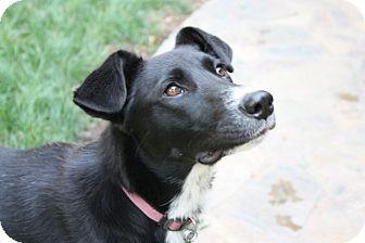 Border Collie Mix Dog for adoption in Corning, California - BELLA