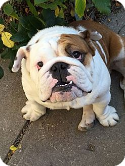 English Bulldog Dog for adoption in Park Ridge, Illinois - Nugget