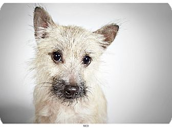 Cairn Terrier Mix Dog for adoption in New York, New York - Nico