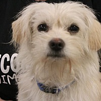 Shih Tzu Mix Puppy for adoption in Rosamond, California - Pink