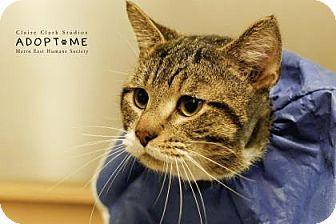 Domestic Shorthair Cat for adoption in Edwardsville, Illinois - Guatemala