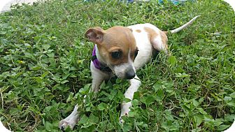 Chihuahua/Jack Russell Terrier Mix Puppy for adoption in San Antonio, Texas - Belly