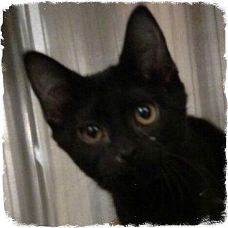 Domestic Shorthair Kitten for adoption in Pueblo West, Colorado - 1