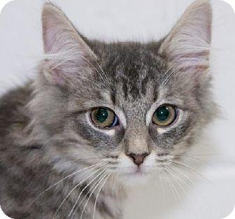 Domestic Mediumhair Kitten for adoption in Salem, Massachusetts - Laverne