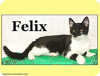 Domestic Shorthair Cat for adoption in Cuba, Missouri - Felix