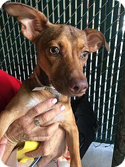 Chihuahua/Miniature Pinscher Mix Dog for adoption in Boynton Beach, Florida - Peanut