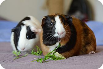 Guinea Pig for adoption in Brooklyn, New York - Cookie and Panda