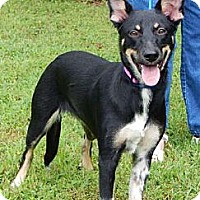 Australian Kelpie Dog for adoption in West Sand Lake, New York - Phoenix (45 lb) Video!