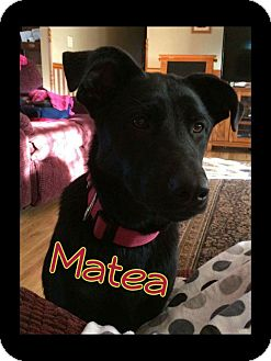 Labrador Retriever Mix Dog for adoption in WESTMINSTER, Maryland - Matea