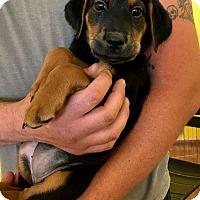 Adopt A Pet :: RAVEN - Albuquerque, NM