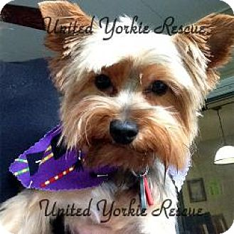 Yorkie, Yorkshire Terrier Dog for adoption in Shiloh, Illinois - Princess