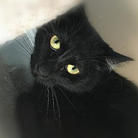 Domestic Shorthair Cat for adoption in St. Louis, Missouri - Sheila