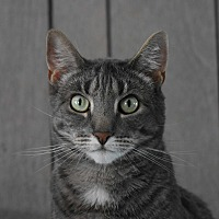 Domestic Shorthair Cat for adoption in Pine Bush, New York - Pancake