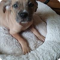 Labrador Retriever/Black Mouth Cur Mix Puppy for adoption in Crawfordville, Florida - Bentley