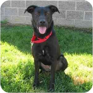 Labrador Retriever Mix Dog for adoption in Tracy, California - Nadia