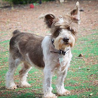 Schnauzer (Miniature)/Terrier (Unknown Type, Small) Mix Dog for adoption in San Diego, California - Tom