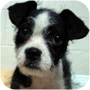 Boston Terrier/Fox Terrier (Toy) Mix Puppy for adoption in Milledgeville, Georgia - Montana