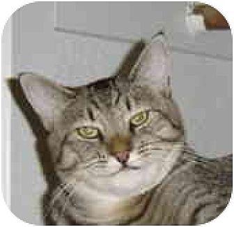 Domestic Shorthair Cat for adoption in Elk Grove, California - Carly