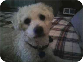 Bichon Frise/Poodle (Toy or Tea Cup) Mix Dog for adoption in Algonquin, Illinois - Barney