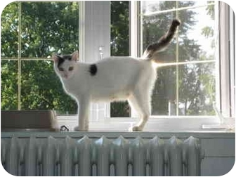 Domestic Shorthair Cat for adoption in Montreal, Quebec - Alexandra