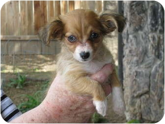 Terrier (Unknown Type, Small) Mix Puppy for adoption in Sacramento, California - Mia