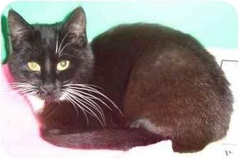 Domestic Shorthair Kitten for adoption in Somerset, Pennsylvania - Midnight