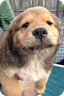 Chow Chow Mix Puppy for adoption in Gainesville, Florida - Markie
