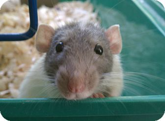 Rat for adoption in Middle Island, New York - Rats