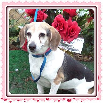 Beagle Dog for adoption in Marietta, Georgia - HANNAH