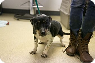 Rat Terrier Mix Dog for adoption in Manassas, Virginia - Addison