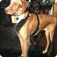 Adopt A Pet :: Champ - Council Bluffs, IA