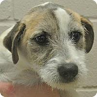 Adopt A Pet :: Bruiser - white settlment, TX