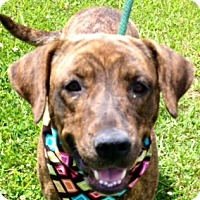Adopt A Pet :: CAROLINE - Glastonbury, CT