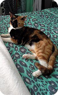 Calico Cat for adoption in Overland Park, Kansas - Callie