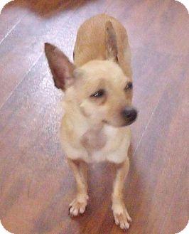Chihuahua Dog for adoption in New Smyrna beach, Florida - ALDO