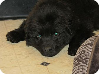 Australian Shepherd Mix Puppy for adoption in ST LOUIS, Missouri - Alex