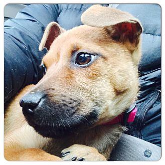 Shepherd (Unknown Type)/Labrador Retriever Mix Puppy for adoption in Greenfield, Wisconsin - MILLIE