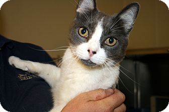 Domestic Shorthair Cat for adoption in Yucca Valley, California - Duffy Donald Doolittle