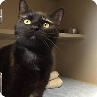 Domestic Shorthair Cat for adoption in Denver, Colorado - Lacey