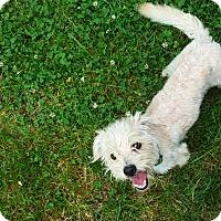 Adopt A Pet :: Scout - Gig Harbor, WA