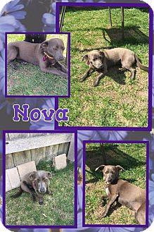 Chihuahua/Dachshund Mix Dog for adoption in Tomah, Wisconsin - Nova