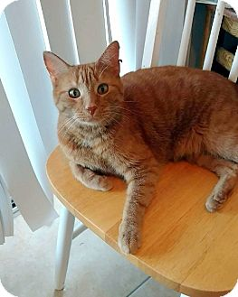 Domestic Shorthair Cat for adoption in Las Vegas, Nevada - Candy Corn