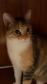 Calico Cat for adoption in Spring, Texas - Celine