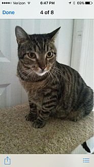 Domestic Shorthair Cat for adoption in New York, New York - Miko