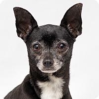 Adopt A Pet :: Winnie - Westfield, NY